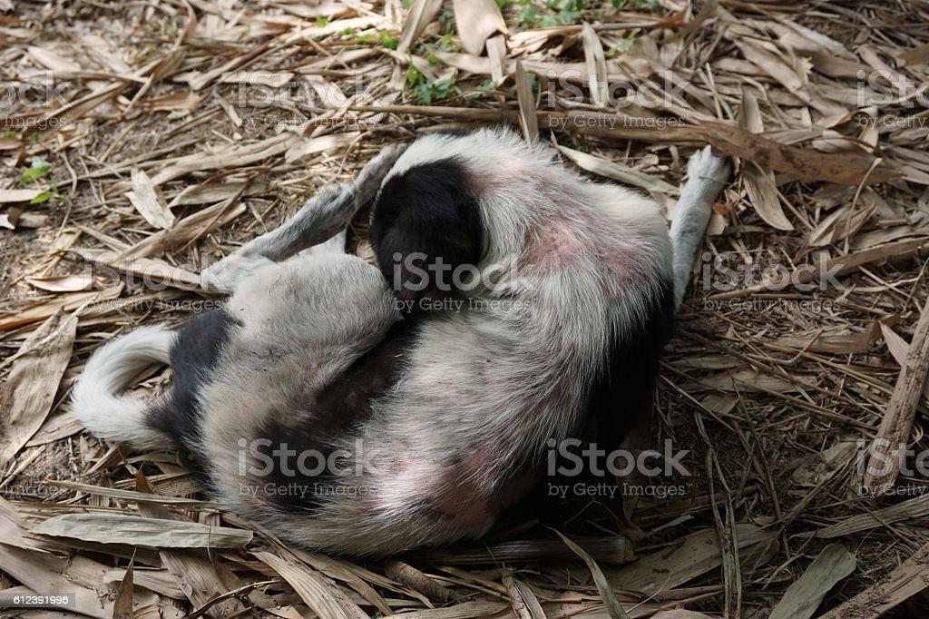 leprosy in dog stock photo