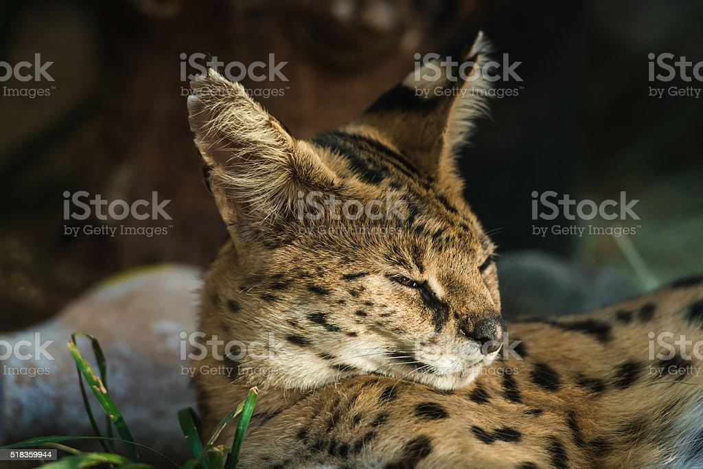 Leptailurus Serval stock photo