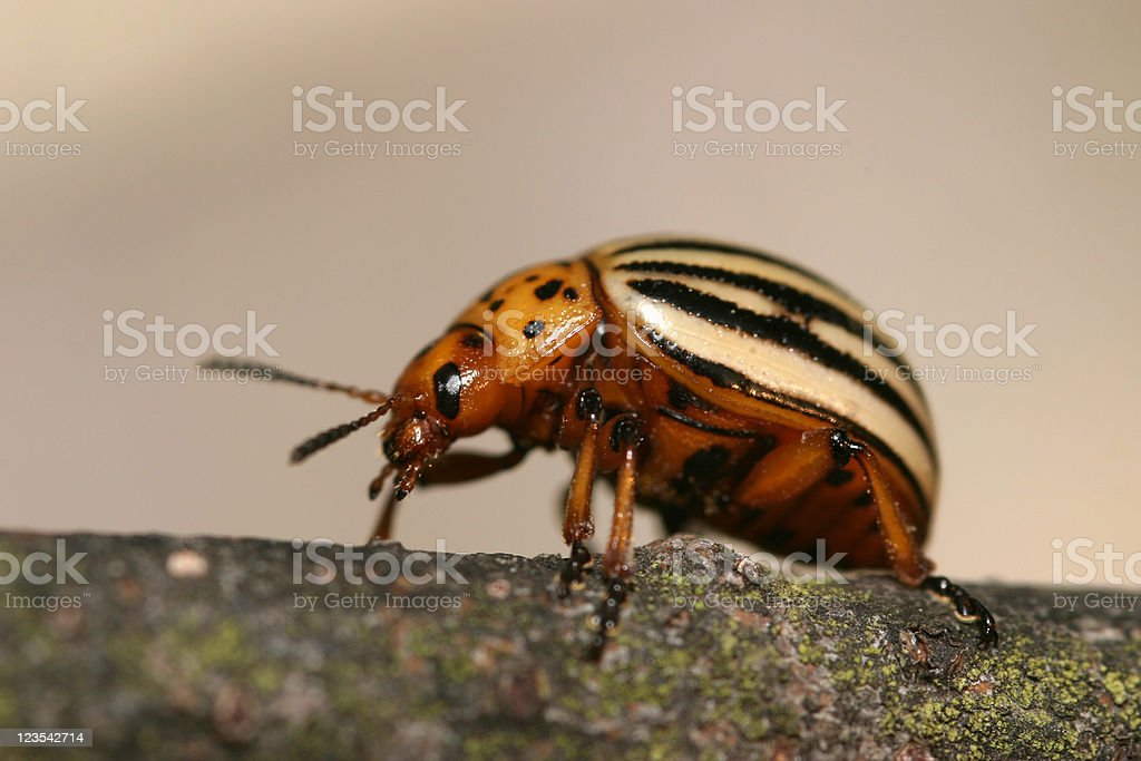 Leptinotarsa decemlineata. royalty-free stock photo