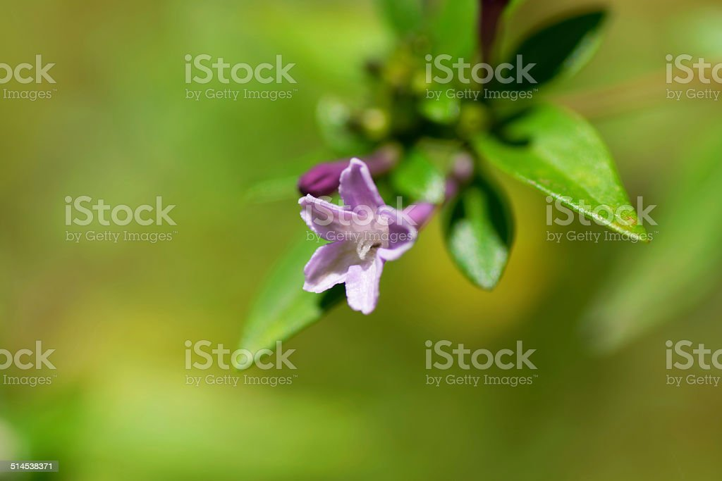 Leptodermis pulchella, RUBIACEAE, Japan, near threatened (NT), endangered plants stock photo