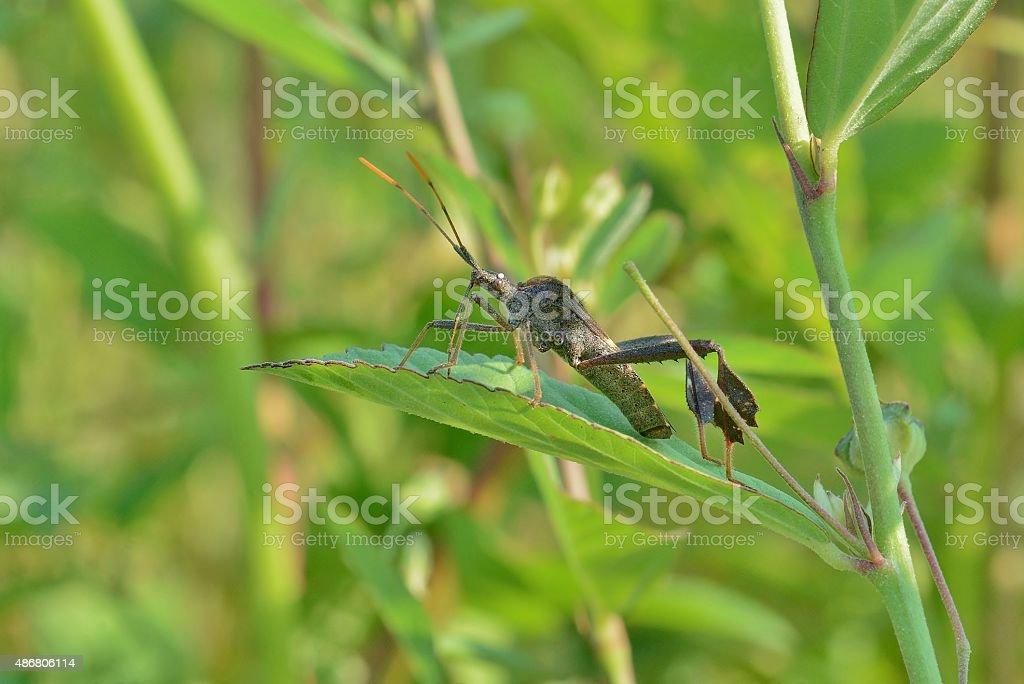 Leptoglossus zonatus , a major pest of satsumas stock photo
