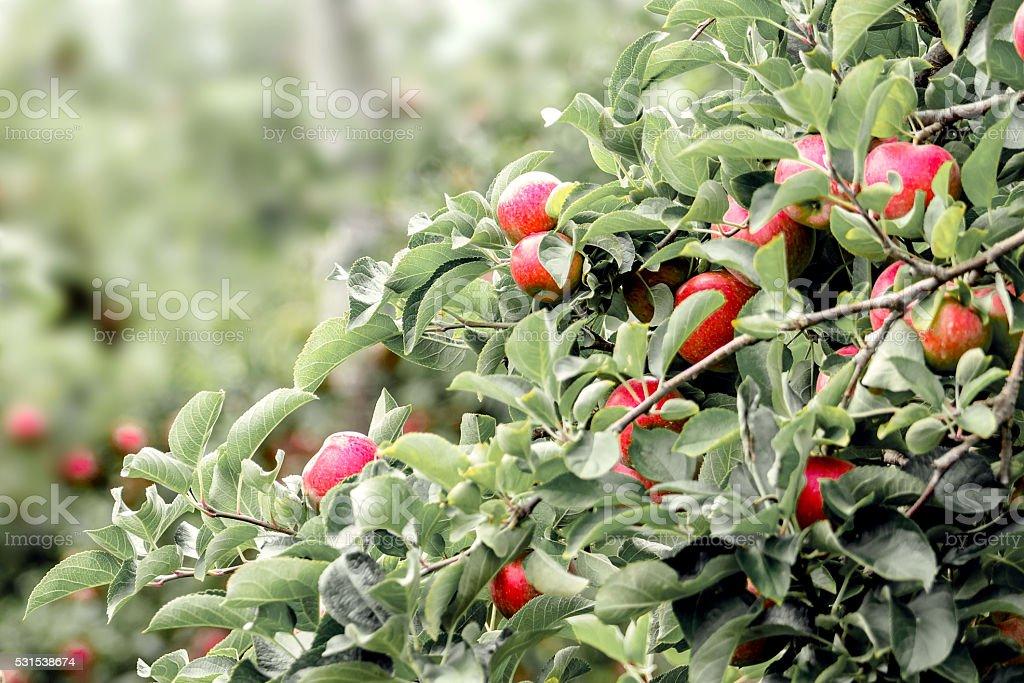 Les pommes rouges stock photo