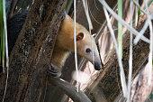 Lesser anteater in tree peeping through leaves