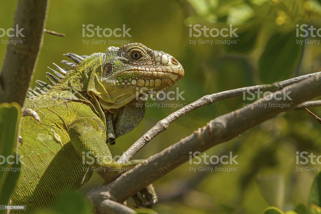 Lesser Antillean Iguana royalty-free stock photo
