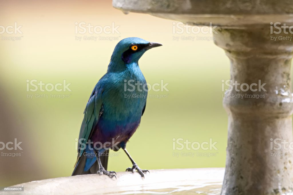 Lesser Blue-eared Starling stock photo