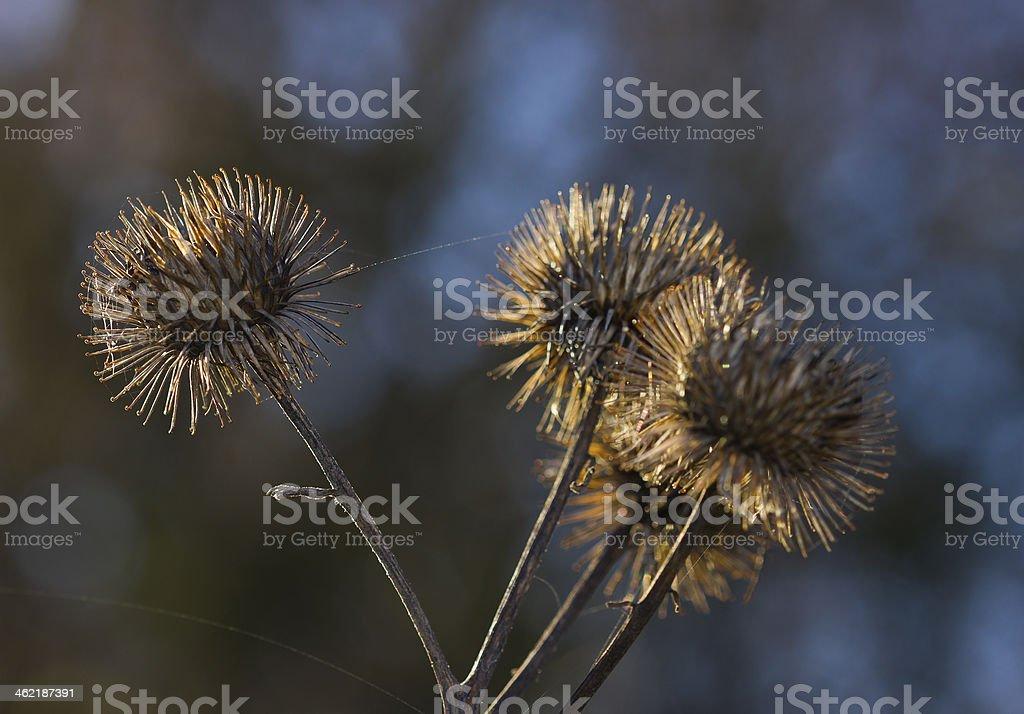 Lesser burdock plant stock photo