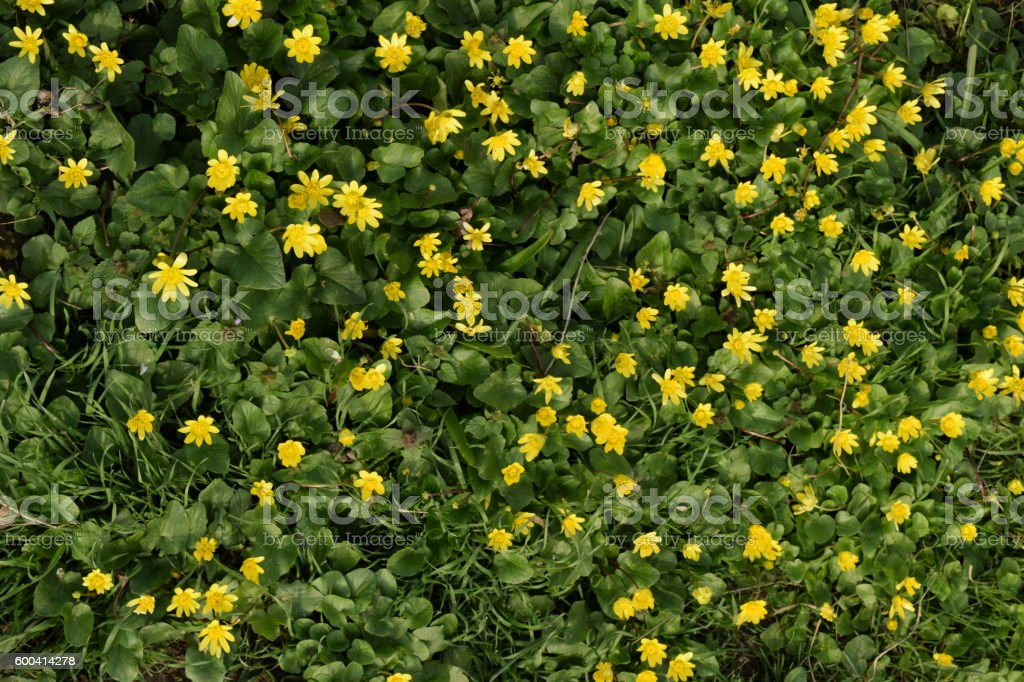 Lesser celandine flowers on the ground stock photo
