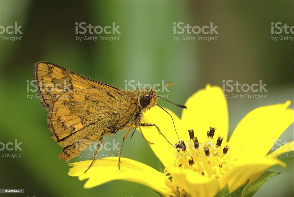 Lesser Dart feeding on daisy (Singapore butterfly) stock photo