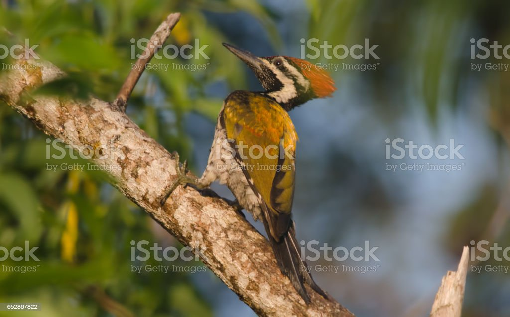 Lesser Flameback Woodpecker stock photo