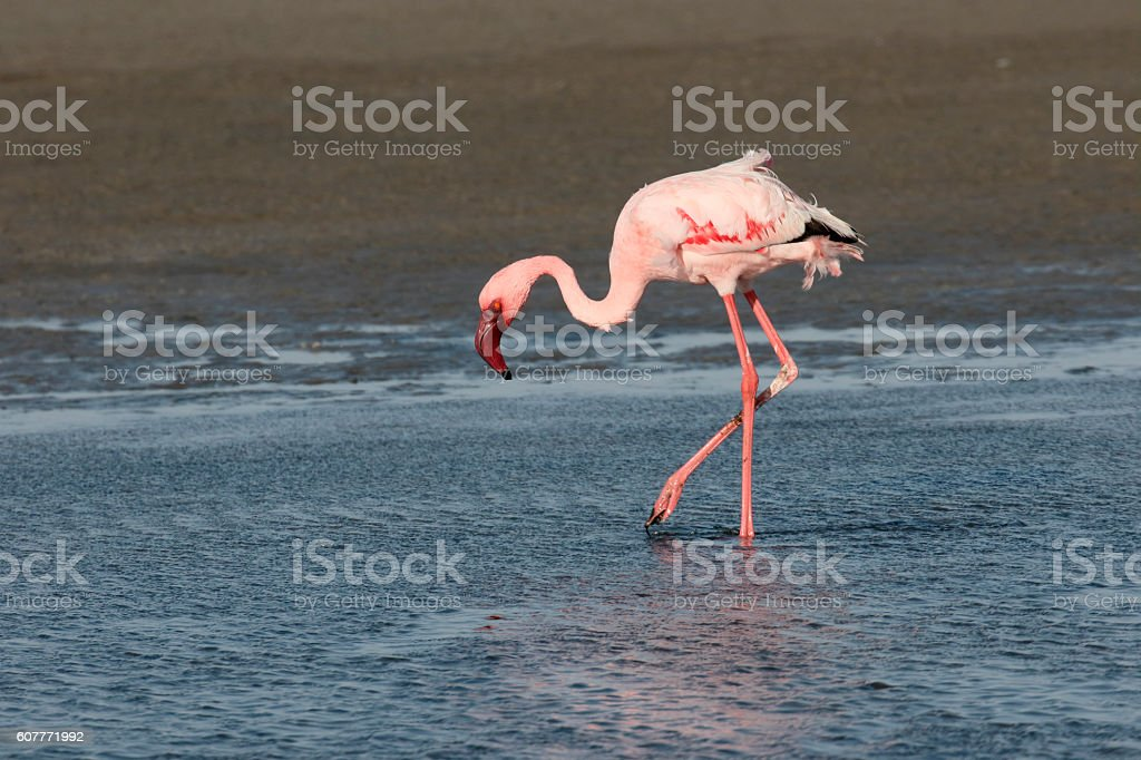 Lesser flamingo, Phoenicopterus minor stock photo