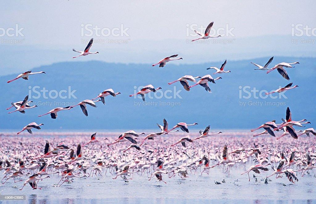 Lesser Flamingo (Phoeniconaias minor) stock photo