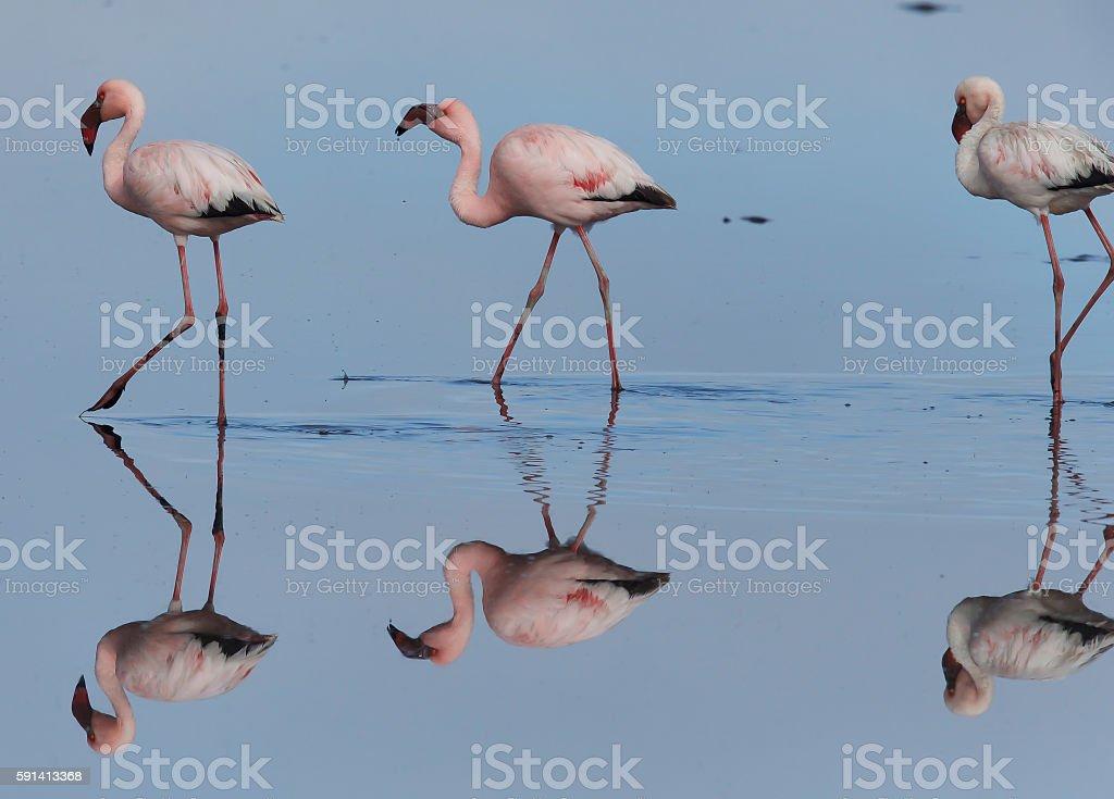 Lesser Flamingo stock photo