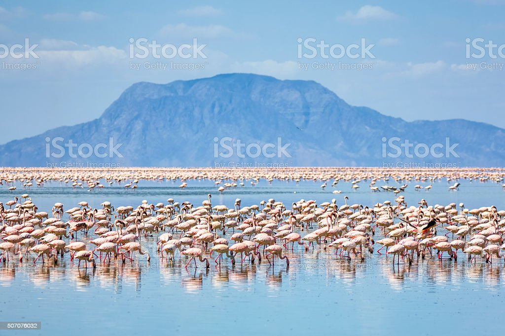 Lesser flamingos feeding on Lake Natron with Mount Shompole / Tanzania stock photo
