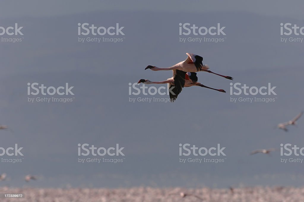 Lesser Flamingos in Flight stock photo