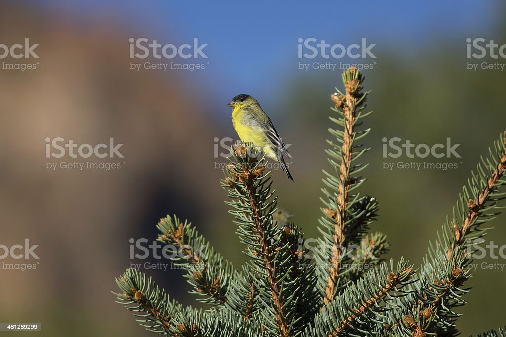 Lesser Goldfinch royalty-free stock photo
