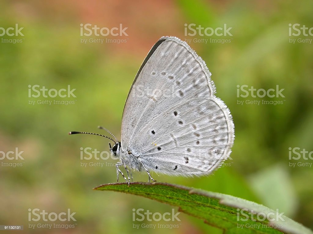 Lesser Grass Blue butterfly on leaf royalty-free stock photo