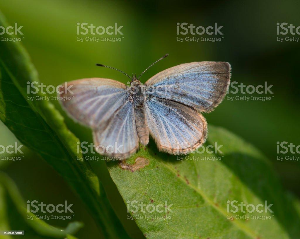 Lesser Grass Blue (Zizina otis) Butterfly stock photo