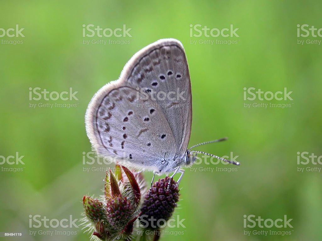 Lesser Grass Blue (Zizina otis) Butterfly royalty-free stock photo