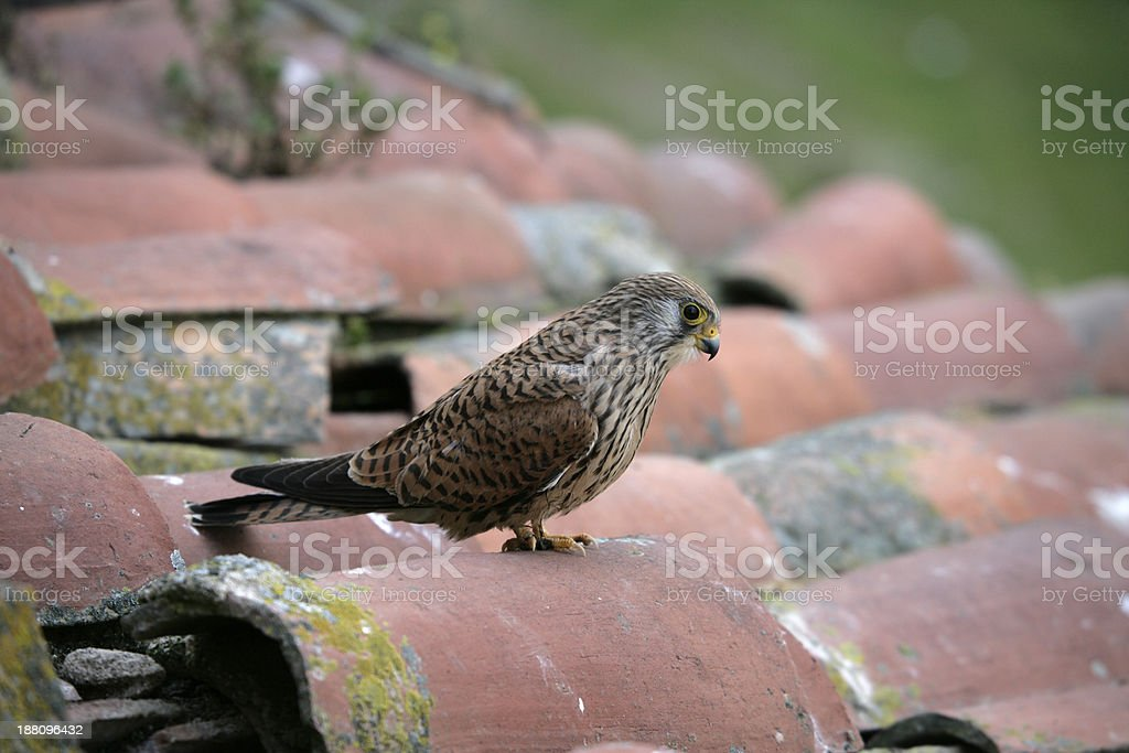 Lesser kestrel, Falco naumanni, stock photo