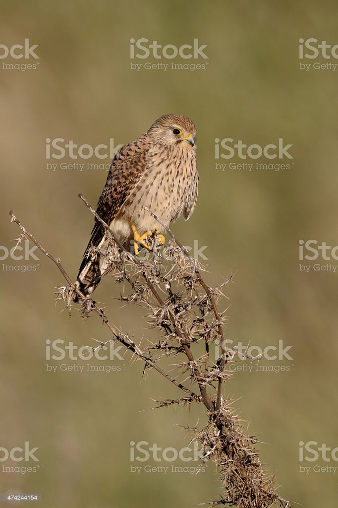 Lesser kestrel, Falco naumanni stock photo