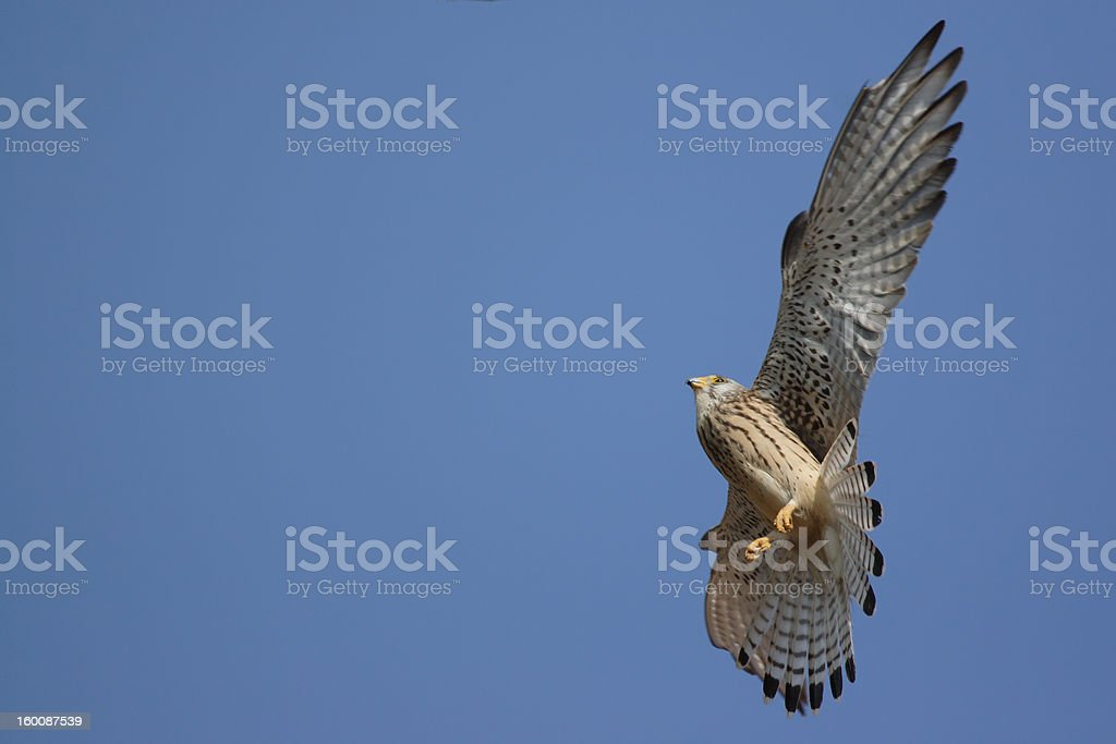 Lesser Kestrel stock photo