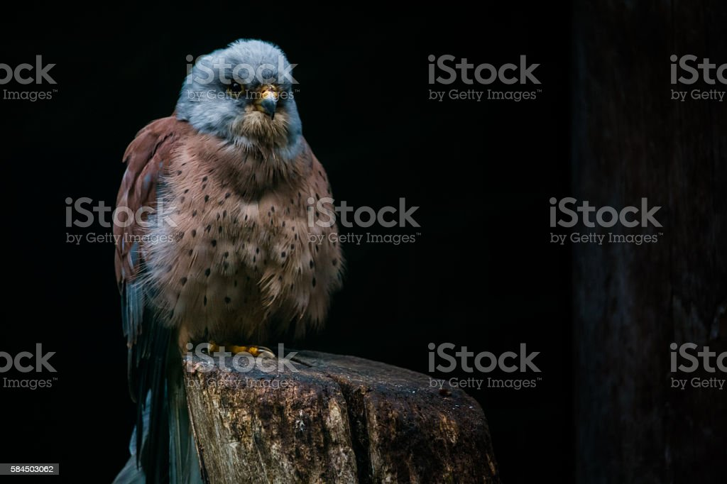 Lesser kestrel stock photo