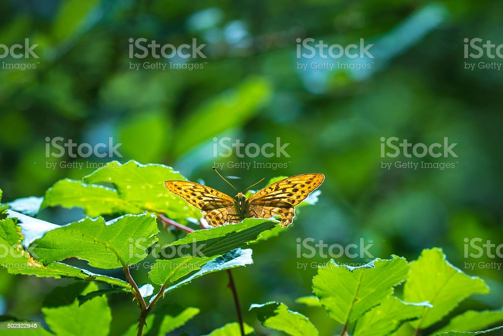 Lesser Marbled Fritillary, Brenthis ino, resting stock photo
