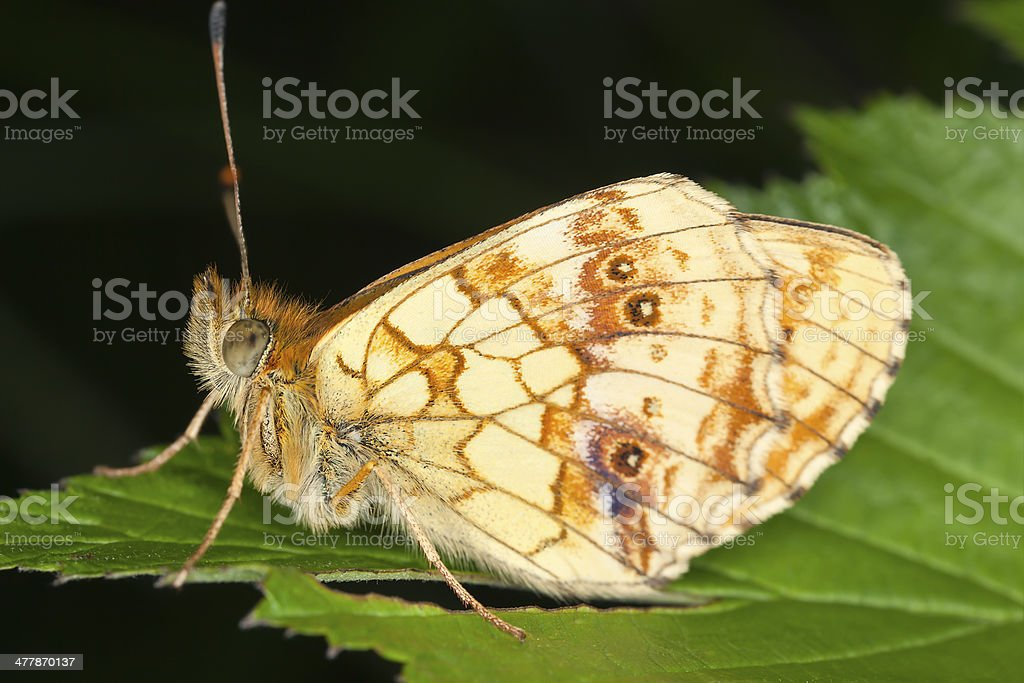 Lesser Marbled Fritillary, Brenthis io resting on leaf stock photo