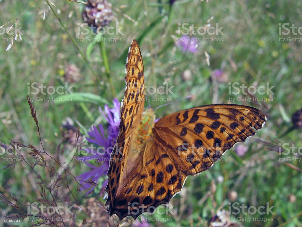Lesser marbled fritillary butterfly in the mountains royalty-free stock photo
