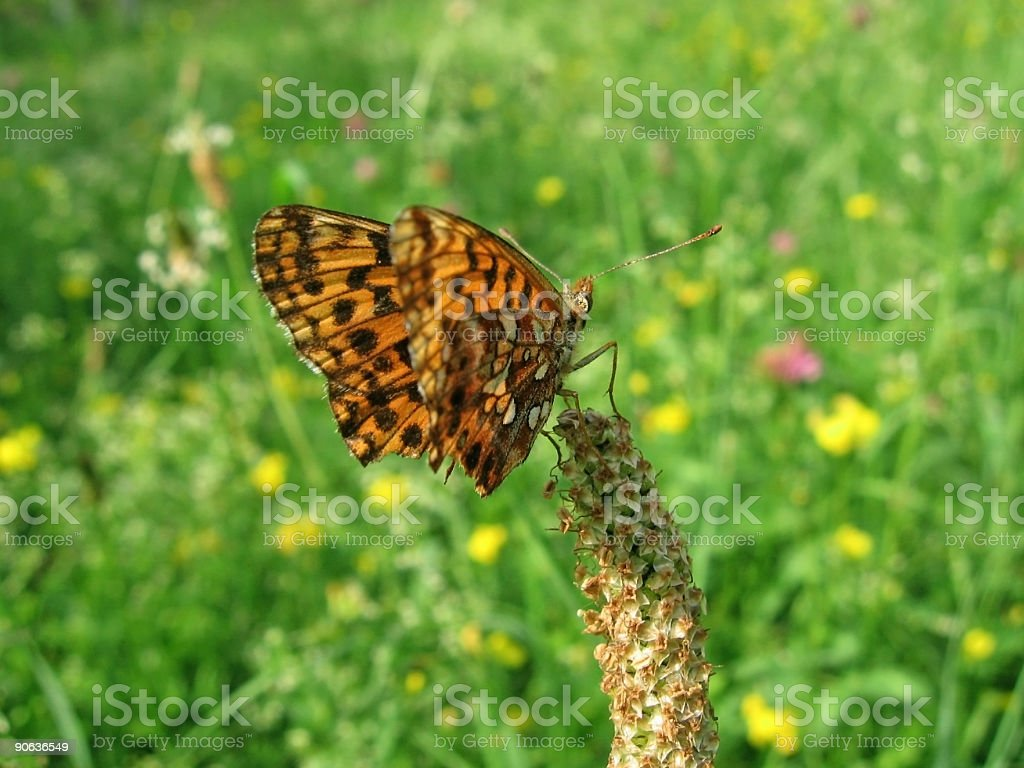 Lesser marbled fritillary butterfly stock photo