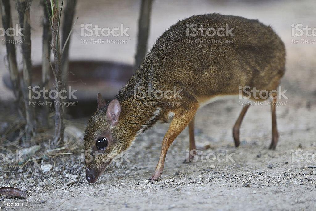 Violetter Maus Deer (Tragulus javanicus) Lizenzfreies stock-foto