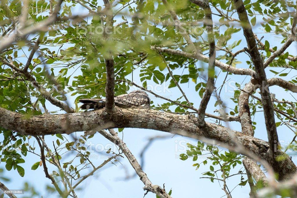 Lesser nighthawk stock photo