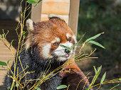 Lesser panda eating leaves