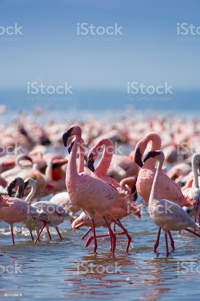 Lesser Pink Flamingoes stock photo