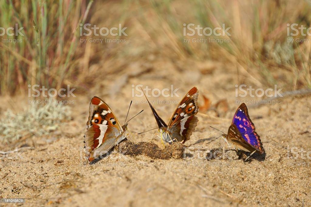 Lesser Purple Emperor (Apatura ilia), butterflies feeding on feces royalty-free stock photo