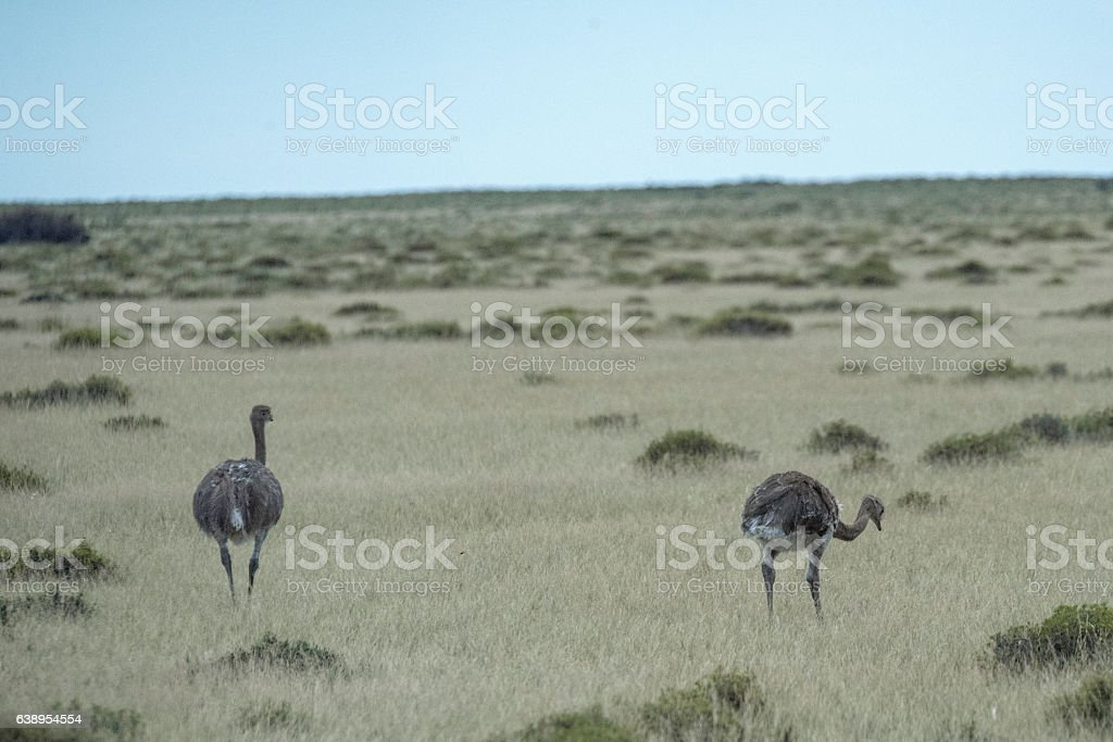 Lesser rhea stock photo
