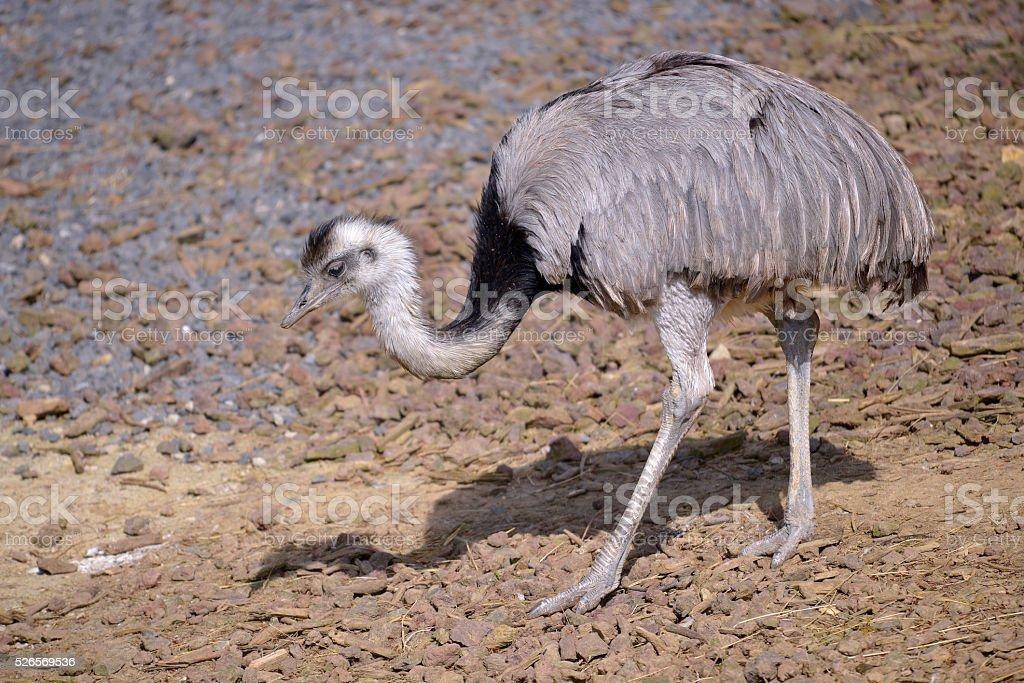 Lesser rhea walking stock photo