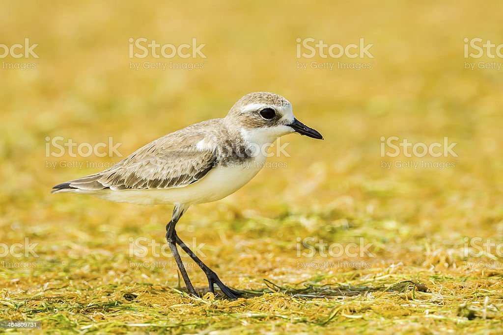 Lesser Sand Plover royalty-free stock photo