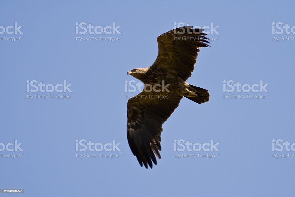 Lesser Spotted Eagle (Aquila pomarina) stock photo