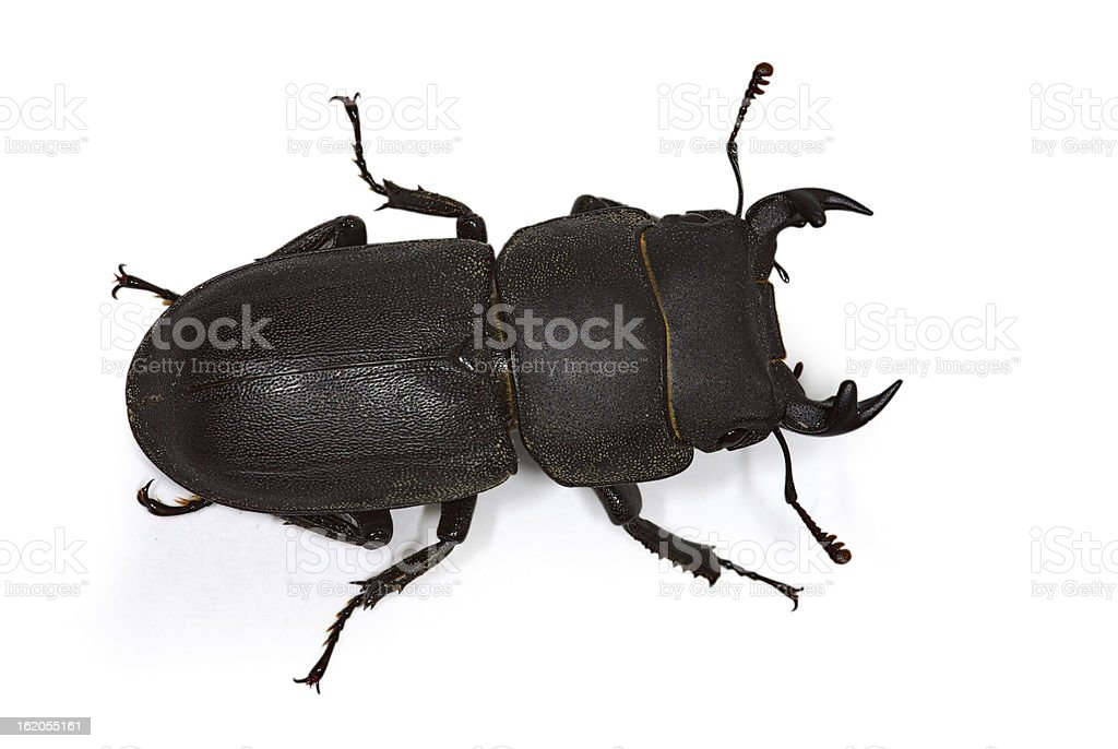 lesser stag beetle (Dorcus parallelipipedus) royalty-free stock photo