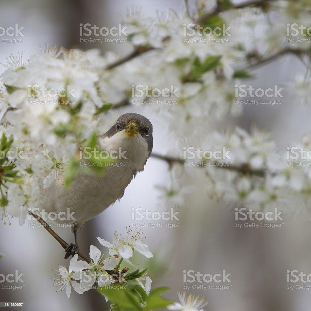 Lesser Whitethroat in spring stock photo