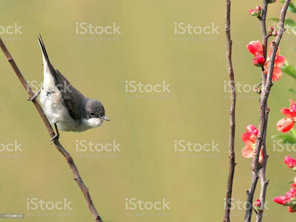 Lesser Whitethroat (Sylvia curruca) stock photo