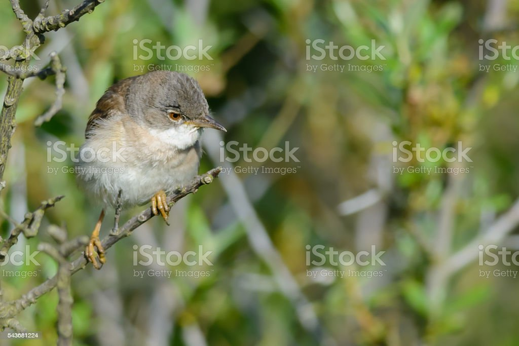 Lesser Whitethroat stock photo