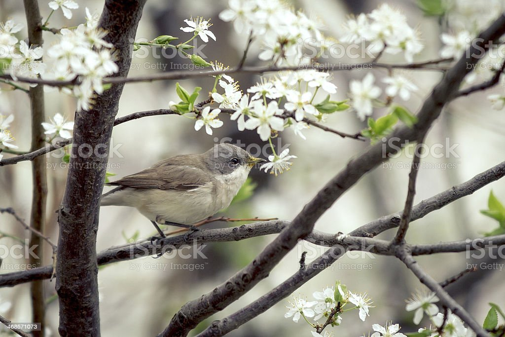 Lesser Whitethroat sitting on the branch stock photo