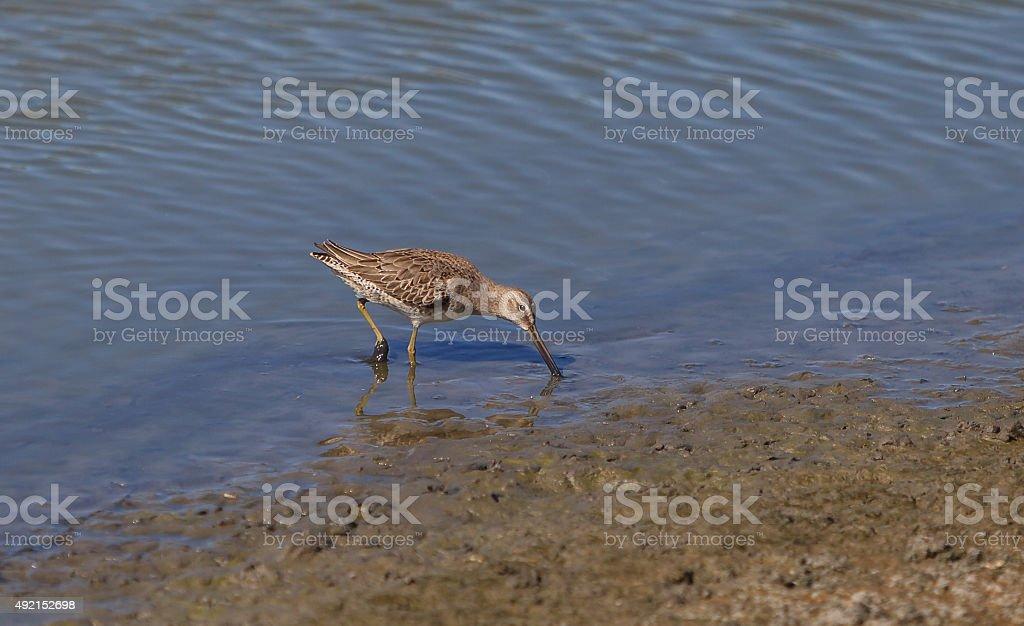 Lesser yellow legs, Tringa flavipes, shorebird stock photo