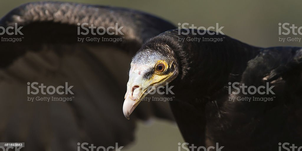 Lesser Yellow-headed Vulture Close-up stock photo