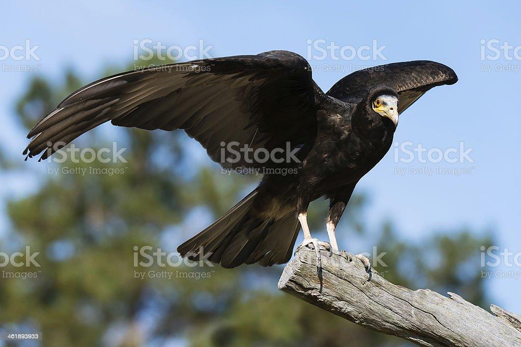 Lesser Yellow-headed Vulture Taking Flight stock photo