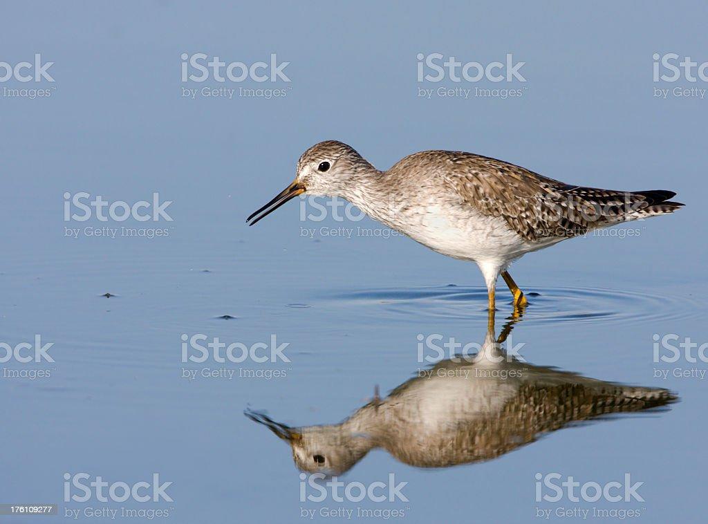 Lesser Yellowleg - Shorebird stock photo