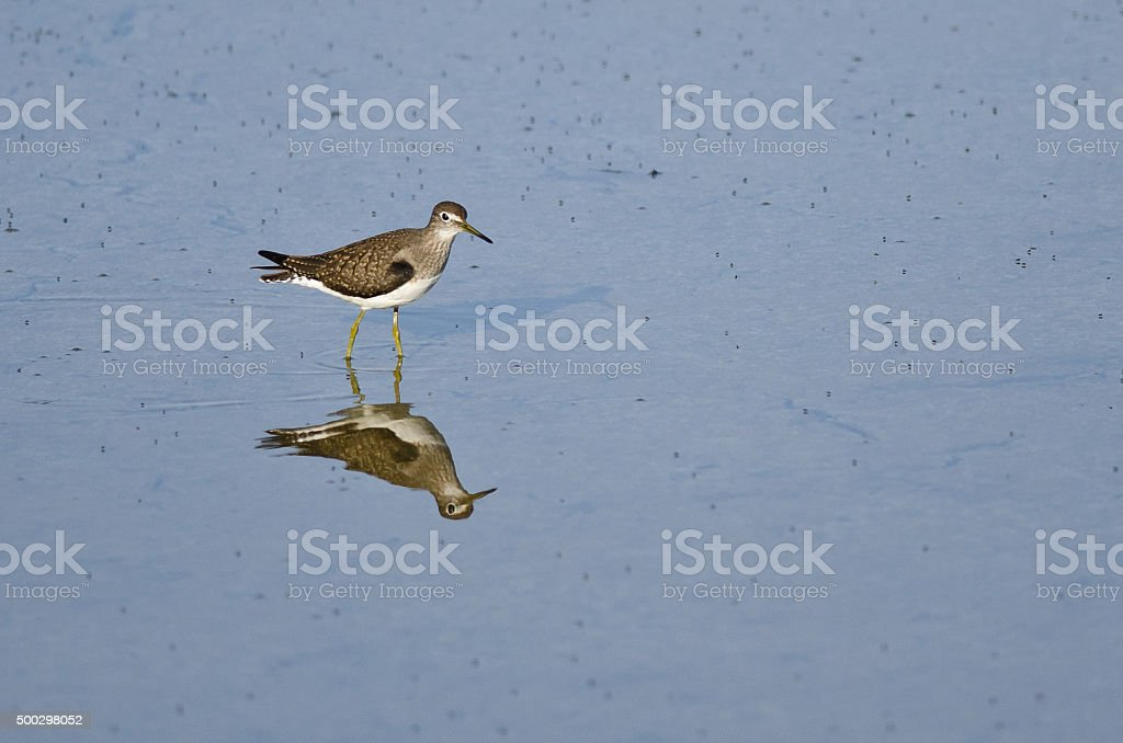 Lesser Yellowlegs Sandpiper Wading in Shallow Blue Water stock photo