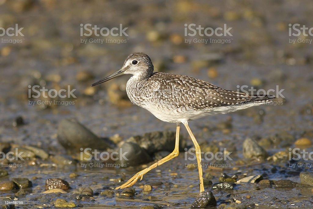 Lesser Yellowlegs Shorebird on tidal mudflat stock photo